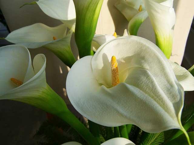 Die Bedeutung der Blume Calla ist auch Unsterblichkeit, Eleganz und Schönheit sowie Hingabe