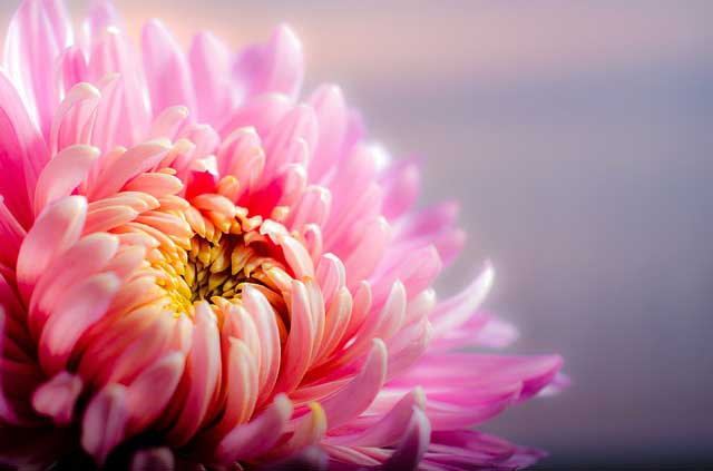 Die Blüte der Chrysantheme drückt Heiligkeit und Seligkeit aus.