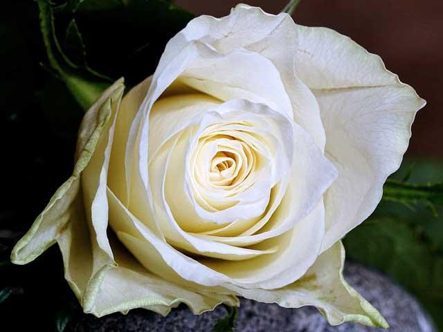 Die Bedeutung einer weißen Rose zur Beerdigung